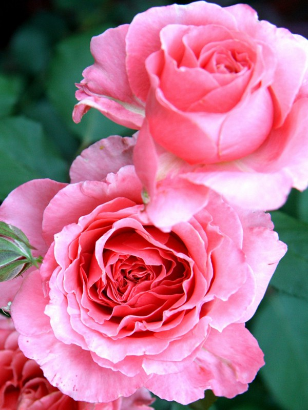 Rosier Générosa® 'Laurent Cabrol'®