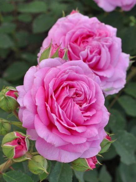 Rosier Générosa® 'Pink Flamingo'
