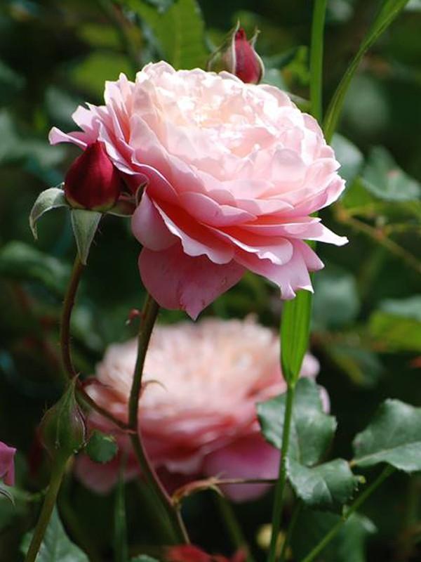 rosier g n rosa 39 prix p j redout 39 rosa g n rosa le jardin du pic vert. Black Bedroom Furniture Sets. Home Design Ideas