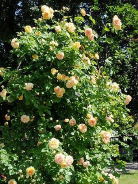 rosier grimpant 39 alchymist 39 rosa grimpant le jardin du pic vert. Black Bedroom Furniture Sets. Home Design Ideas