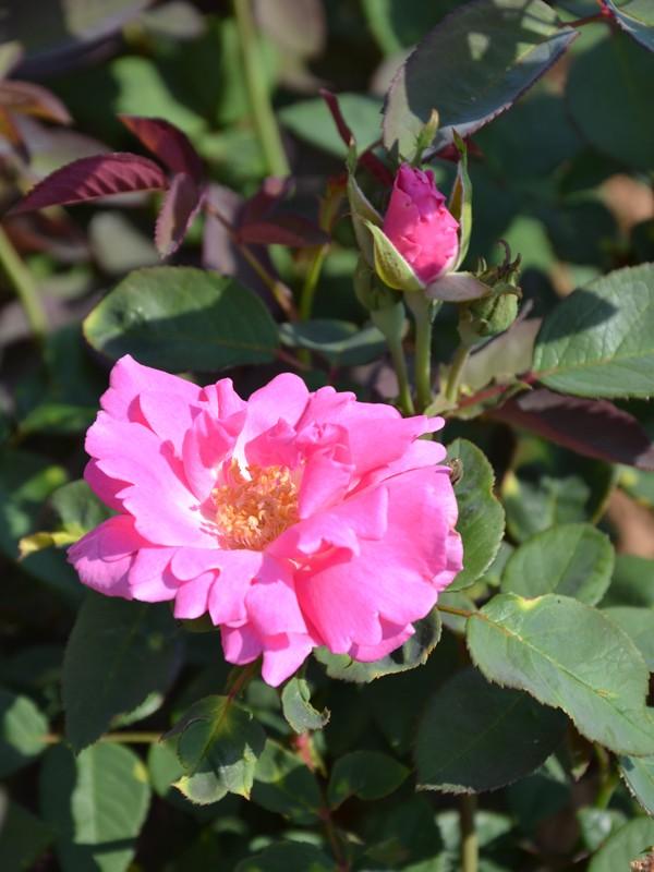 rosier grimpant bourbon 39 zephirine drouin 39 rosa grimpant le jardin du pic vert. Black Bedroom Furniture Sets. Home Design Ideas