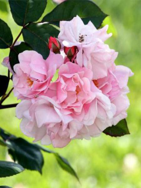 rosier grimpant 39 clair matin 39 rosa grimpant le jardin du pic vert. Black Bedroom Furniture Sets. Home Design Ideas