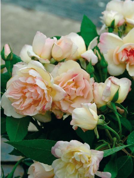 rosier grimpant 39 desprez fleurs jaunes 39 rosa grimpant le jardin du pic vert. Black Bedroom Furniture Sets. Home Design Ideas