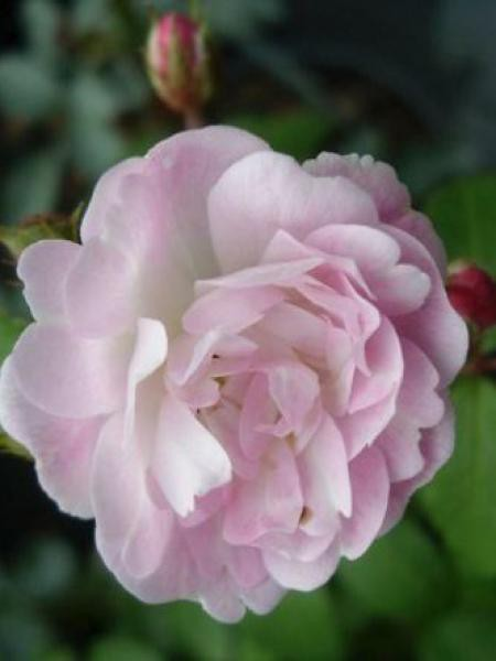 Rosier grimpant 'Guirlande Rose'