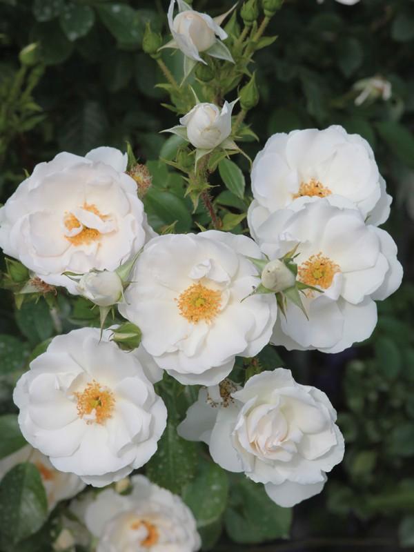 rosier decorosiers 39 isalia 39 rosa polyantha le jardin du pic vert. Black Bedroom Furniture Sets. Home Design Ideas