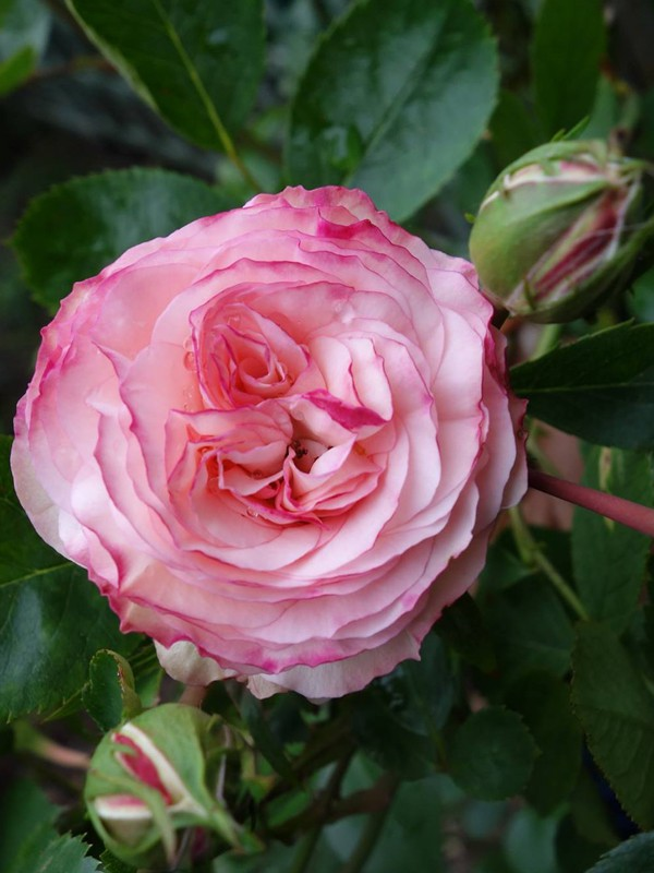Rosier grimpant 'Mini Eden Rose'