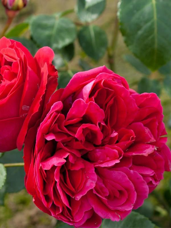 Rosier grimpant 'Red Eden Rose'