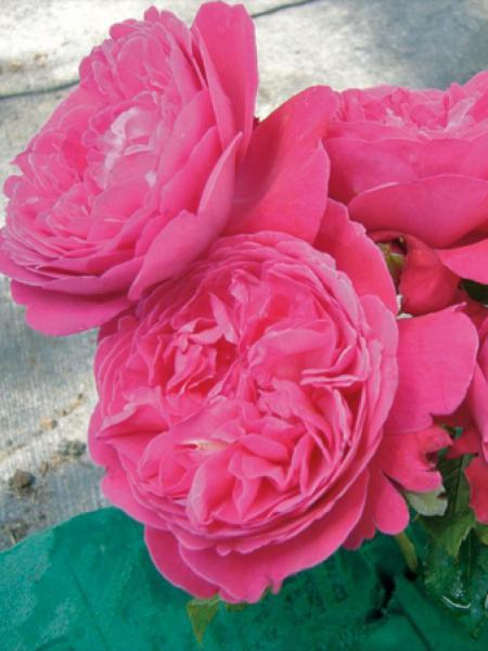 Rosier grimpant 'Rose Salma Es-Said'®