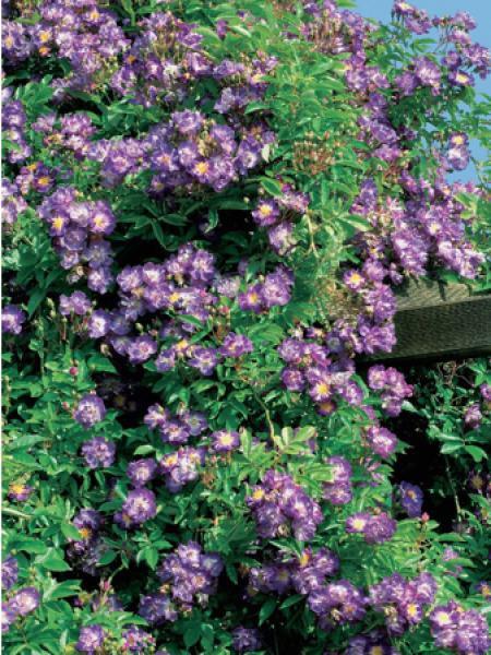 rosier grimpant 39 veilchenblau 39 rosa grimpant le jardin du pic vert. Black Bedroom Furniture Sets. Home Design Ideas