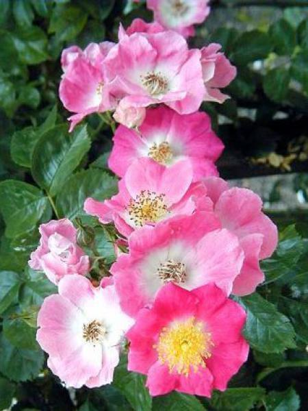 rosier liane 39 american pillar 39 rosa liane le jardin du pic vert. Black Bedroom Furniture Sets. Home Design Ideas
