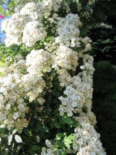 Rosier liane botanique