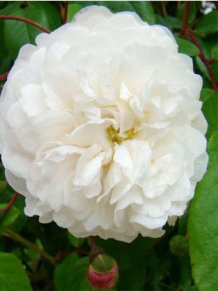 Rosier liane 'Félicité et Perpétue'