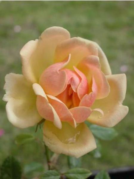 Rosier liane 'Phyllis Bide'