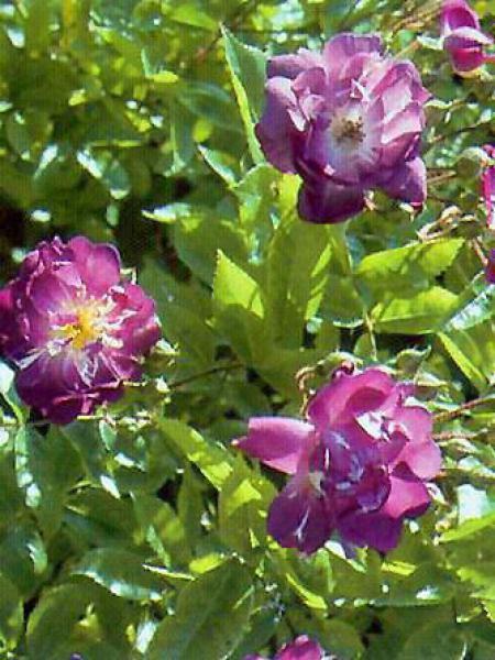 Rosier liane 'Veilchenblau'