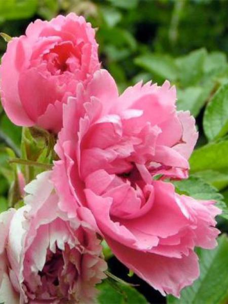 Rosier rugueux 'Pink Grootendorst'