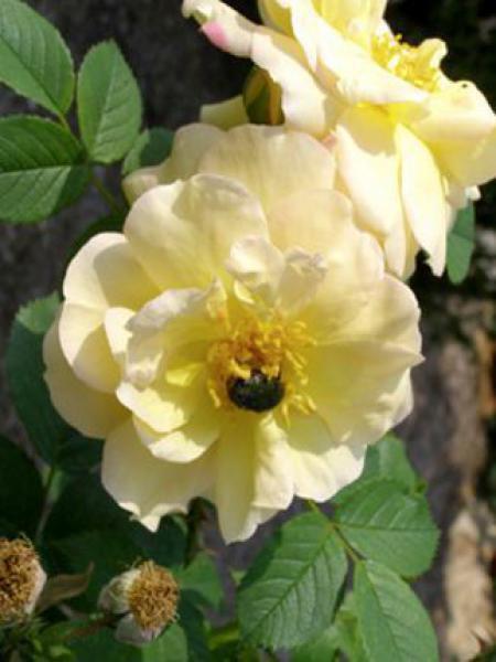 Rosier rugueux 'Yellow Dagmar Hastrup'