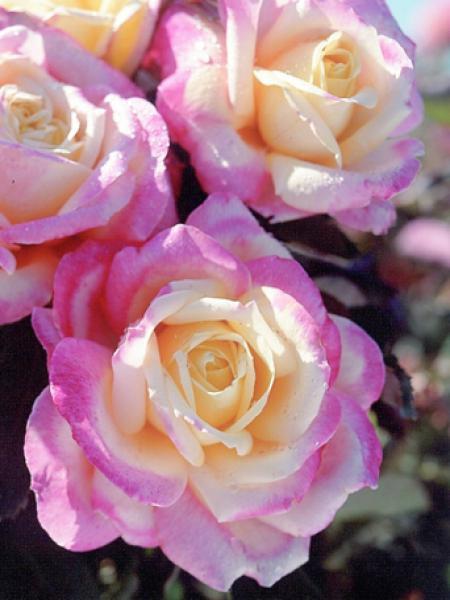 rosier th moderne 39 bella 39 roma 39 rosa th moderne le jardin du pic vert. Black Bedroom Furniture Sets. Home Design Ideas