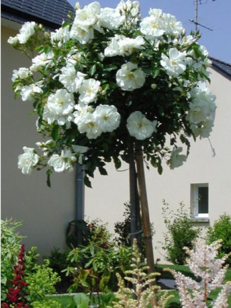 rosier tige 39 decorosiers opalia 39 rosier sur tige le jardin du pic vert. Black Bedroom Furniture Sets. Home Design Ideas