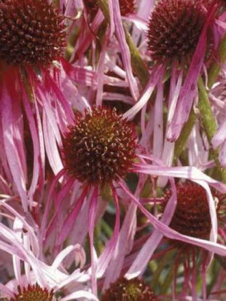 Rudbeckia pallida