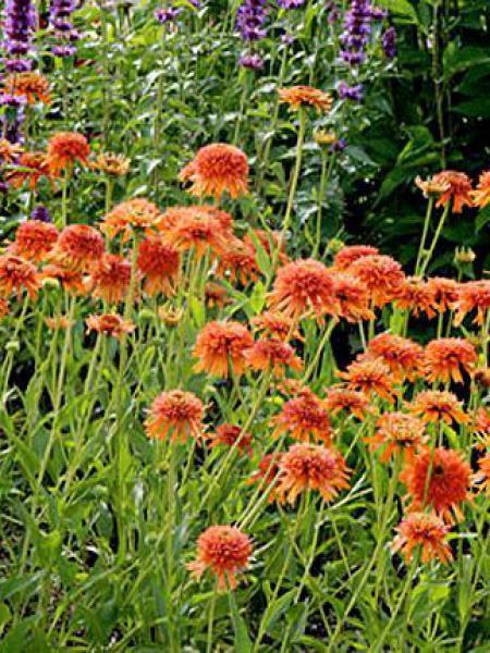 Rudbeckia pourpre 'Colorburst Orange'