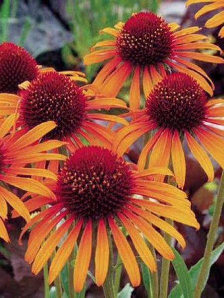 Rudbeckia pourpre 'Orange Passion'