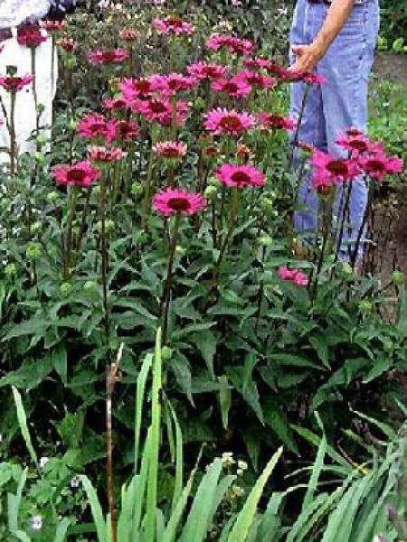Rudbeckia pourpre 'Rubinstern'