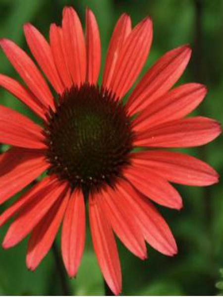 Rudbeckia pourpre 'Solar Flare'®