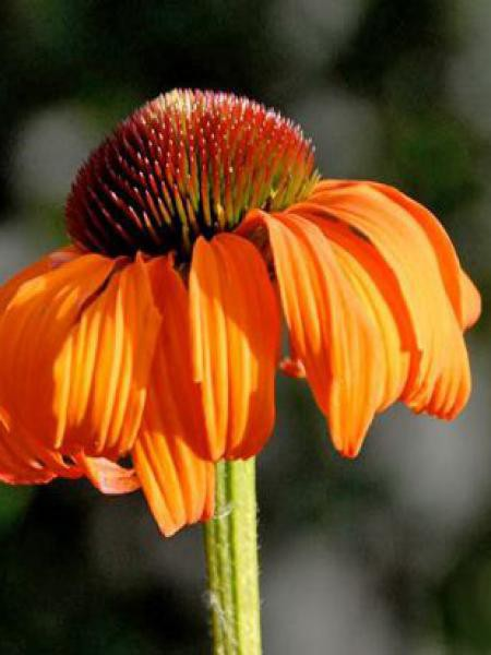 Rudbeckia pourpre 'Tangerine Dream'