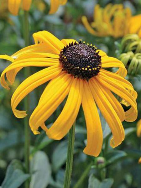 Rudbeckie 'Early Bird Gold'