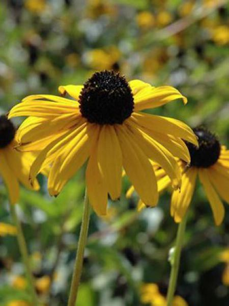 Rudbeckie 'Pot Of Gold'