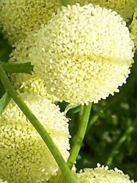 Santoline 'Lemon Fizz'