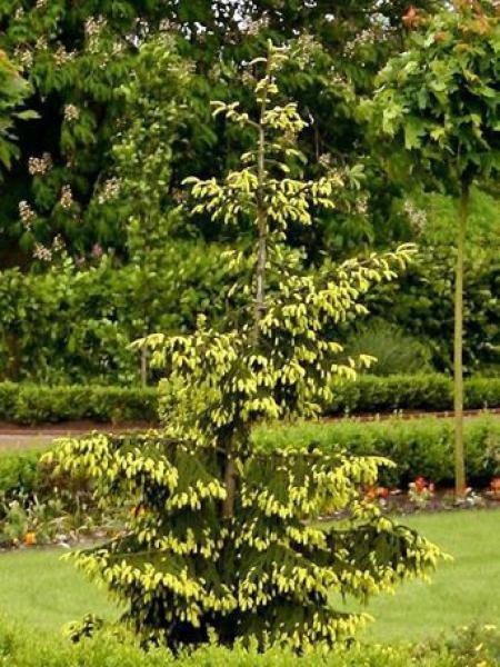 sapinette d 39 orient dor e picea orientalis le jardin du pic vert. Black Bedroom Furniture Sets. Home Design Ideas