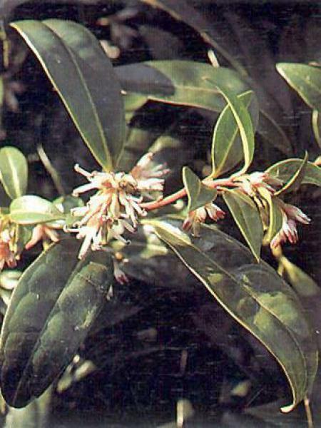 Sarcococca hookeriana 'Humilis'
