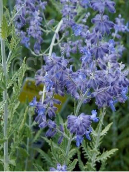 Sauge d'Afghanistan 'Lacey Blue'