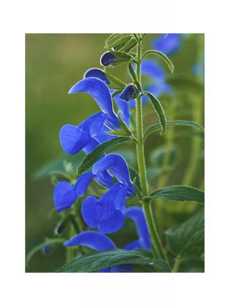 Sauge 'Dark blue'