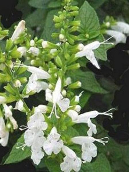 Sauge officinale 'Albiflora'