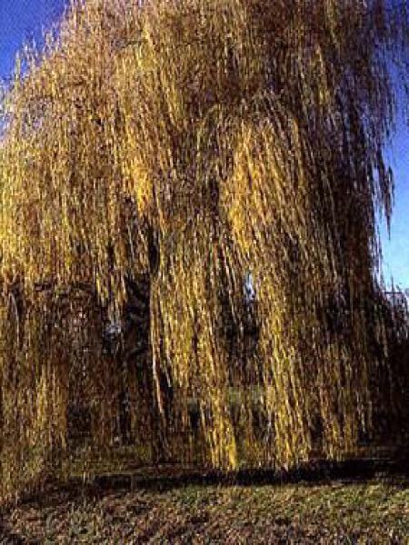 Saule sepulcralis 'Chrysocoma'