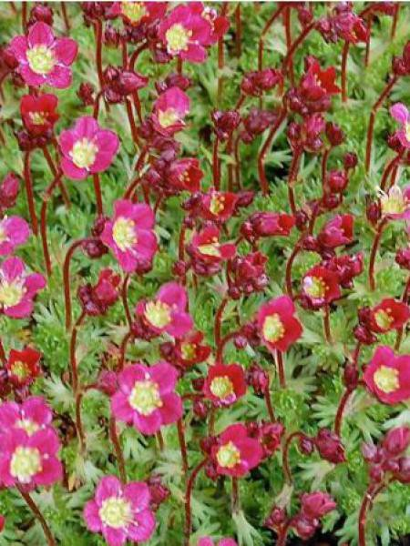 Saxifrage d'Arends 'Pixie'