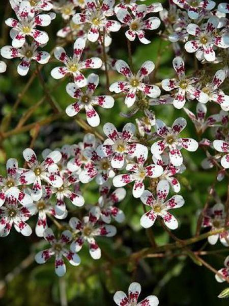 Saxifrage 'Southside Seedling'