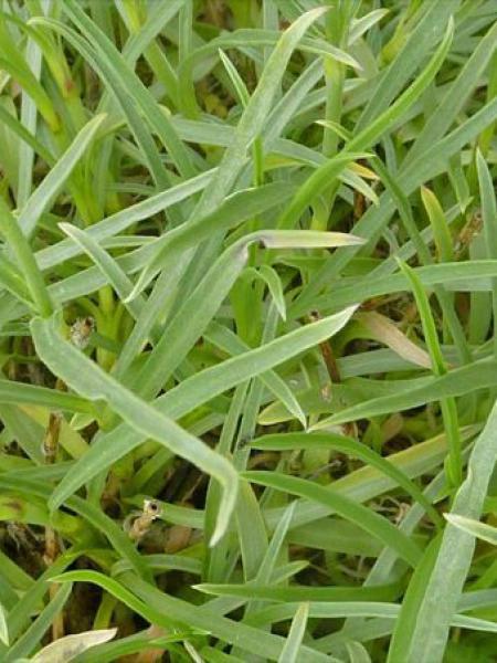 Scabieuse à feuilles de graminée