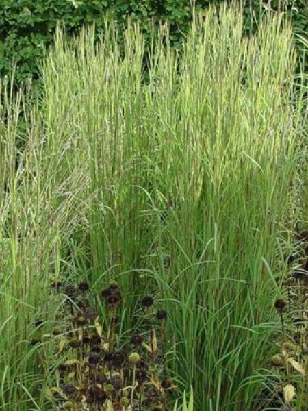 Schizachyrium scoparium 'Cairo'