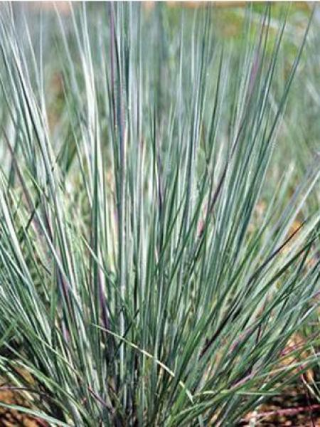 Schizachyrium scoparium 'Prairie Blues'