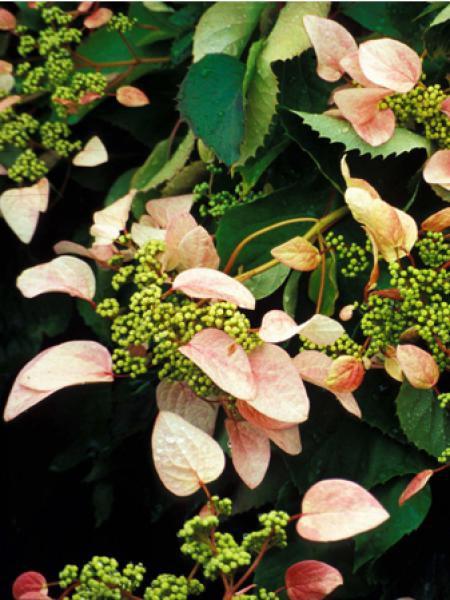 Schizophragma hydrangeoïdes 'Rose Sensation®'