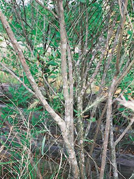 Séneçon en arbre