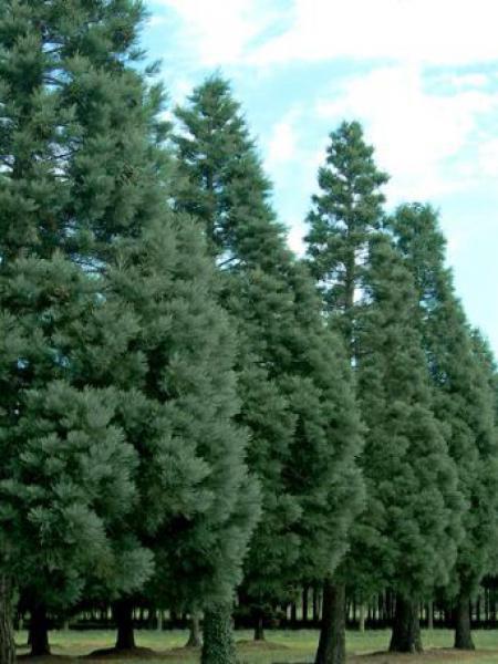 Séquoia géant 'Glauca'