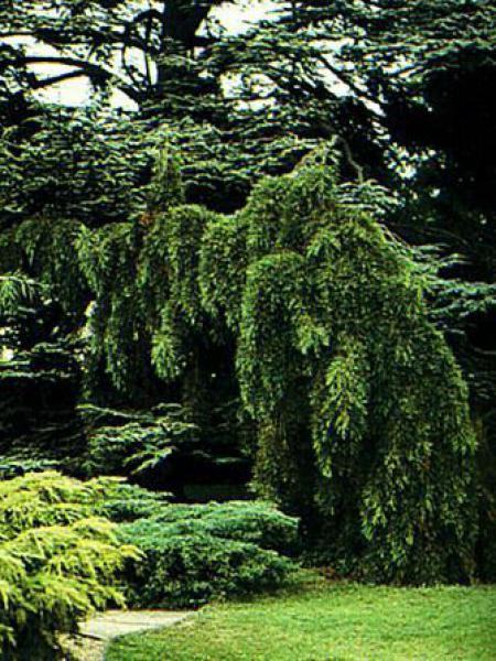 Séquoia géant 'Pendulum'