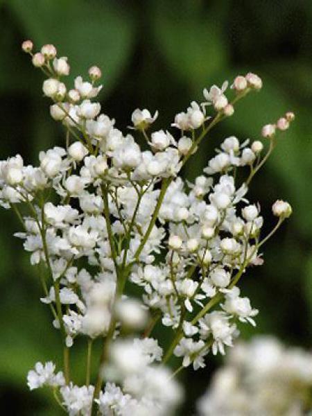 Seringat de Perse 'Bouquet Blanc'