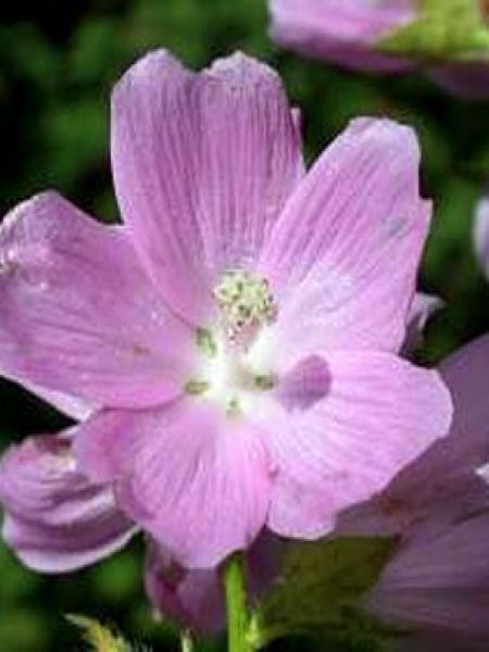 Sidalcea  'Oberon'