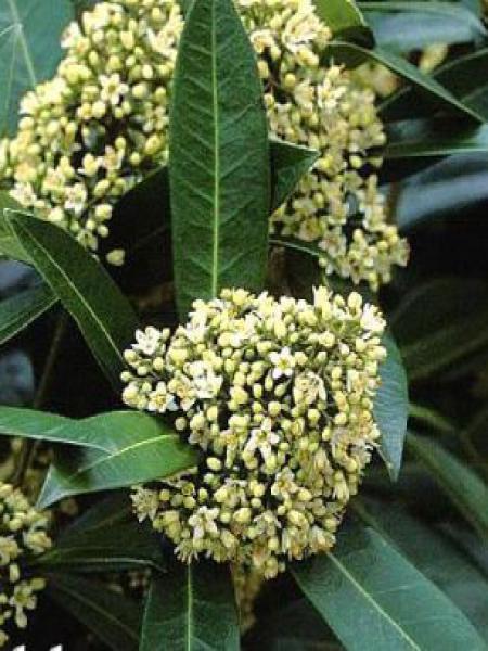 Skimmia du Japon 'Kew Green'