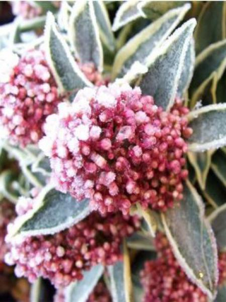 Skimmia du Japon 'Magic Marlot'